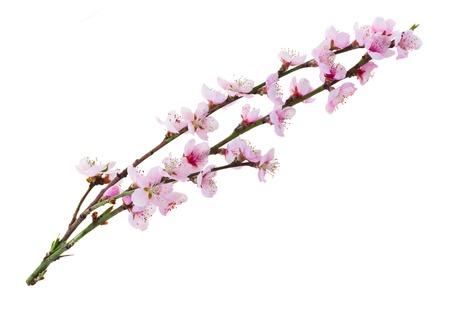 ramoscelli albero di ciliegio con fiori che sbocciano isolato su sfondo bianco