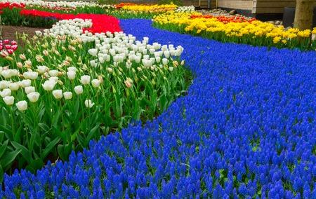 fields of flowers: Blue spring  of fresh flowers  in holland garden Keukenhof, Netherlands Stock Photo