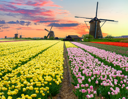dutch: dutch windmill over colorful yellow tulips field on sunset, Holland