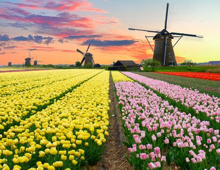 Nederlandse windmolen over kleurrijke gele tulpen veld op zonsondergang, Holland