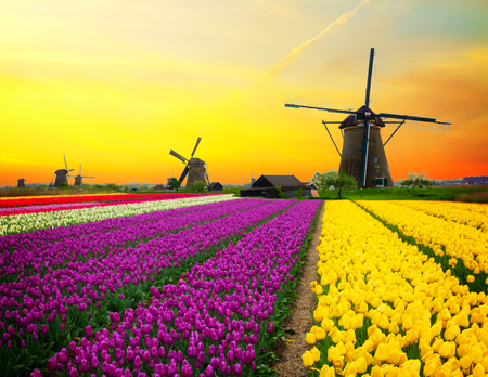 dutch windmill over colorful yellow tulips field on sunset, Holland