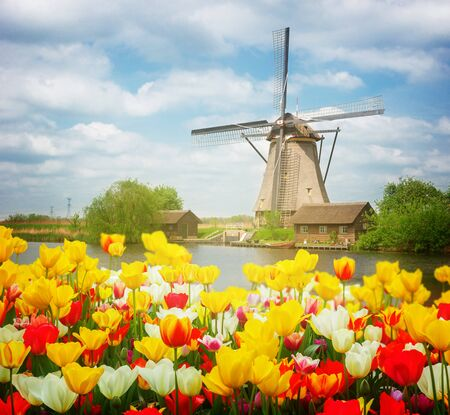 dutch: dutch windmill over colorful tulips field at sunny day, Holland