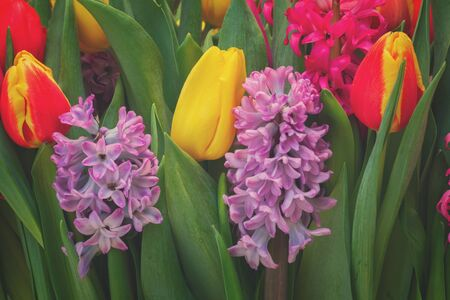 hyacinths: Pink and violet hyacinths with tulips close up, retro toned Stock Photo