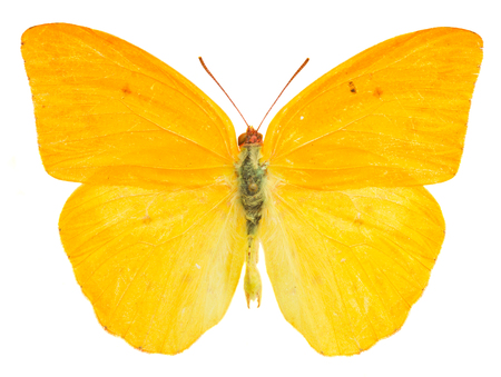 apricot sulphur butterfly  isolated on white background