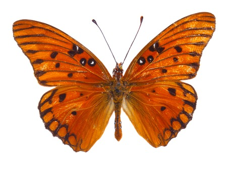 dione: Orange  passion butterfly isolated on white background