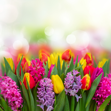 hyacinths: Pink and violet hyacinths with tulips fresh  flowers  border over bokeh background with copy spce
