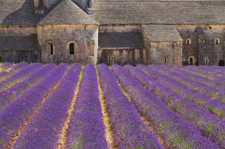 senanque: Abbey Senanque and blooming  Lavender field flowers, France