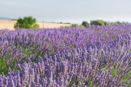 lavandula angustifolia: Lavender flowers blooming field, Provence, France Stock Photo