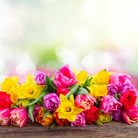 fresh pink, purple and red  tulips and daffodils border on wood  isolated on garden background