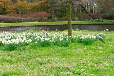 den: Clingendael park at spring with Grey Heron birds, Den Haag, Netherlands
