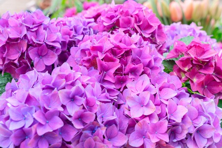 Violet fresh hortensia flowers with green leaves close up
