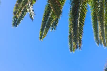 blue green background: green fresh palm tree leaves on clear blue sky background