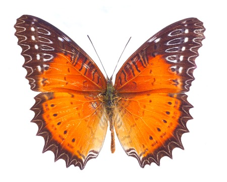 biblis: Red Lacewing butterfly isolated on white background Stock Photo