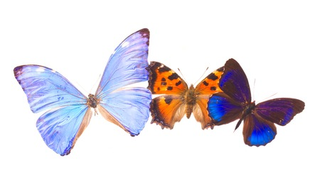 exotic butterflies: Multicolored tropical blue and orange exotic butterflies frame isolated on white background