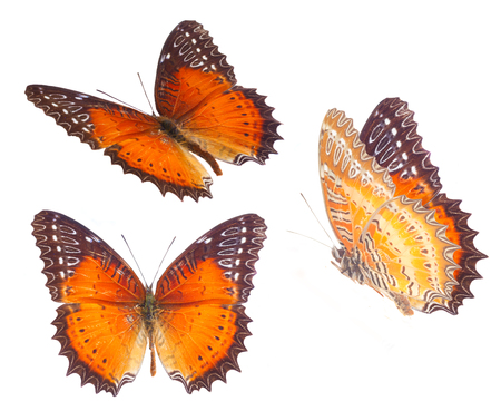 biblis: set of Red Lacewing butterfly isolated on white background Stock Photo