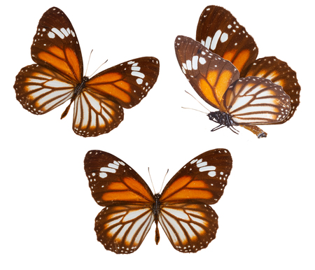 veined: set of black veined tiger butterfly isolated on white background