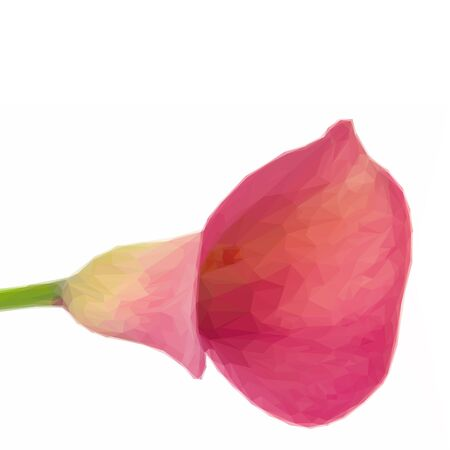 lillies: Low poly illustration one fresh Calla lilly flower