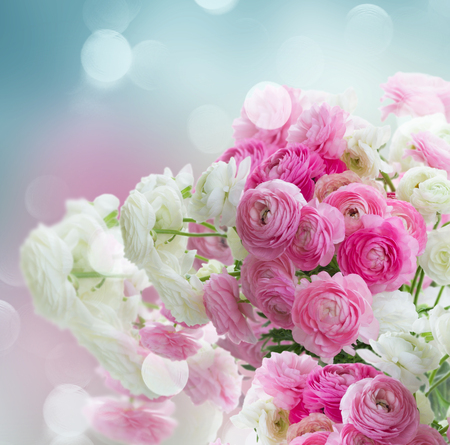 Pink and white ranunculus fresh flowers over blue bokeh background pink and white ranunculus fresh flowers over blue bokeh background stock photo 58175226 mightylinksfo