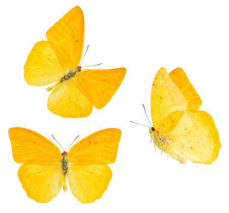 set of apricot sulphur butterfly isolated on white background Stock Photo