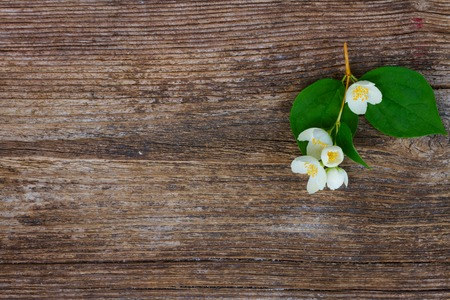 redolence: Jasmine fresh flowers and leaves twig on wooden table Stock Photo