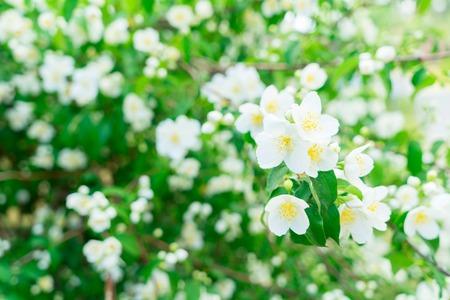 tree jasmine: Jasmine fresh flowers and leaves border blooming tree Stock Photo