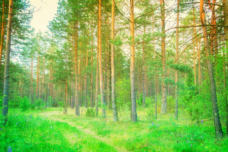 pine green: Summer pine green forest in sunset sunlight, toned