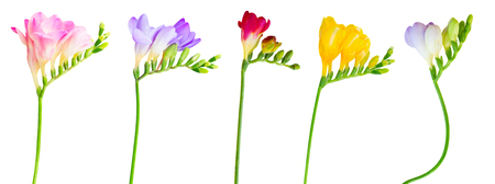 Fresh pink, re, violet, blue and yellow freesia flowers with buds twig isolated on white background Zdjęcie Seryjne
