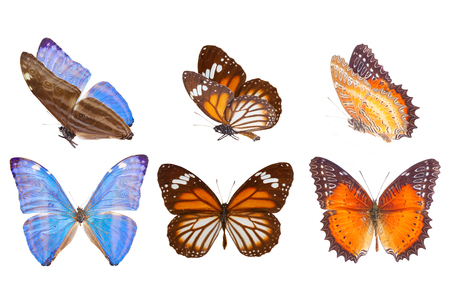 black and blue butterfly flying: Morpho adonis ice blue, black veined tiger and Red Lacewing butterfly isolated on white background