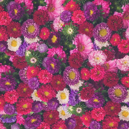 red, pink and violet aster flowers background, retro toned