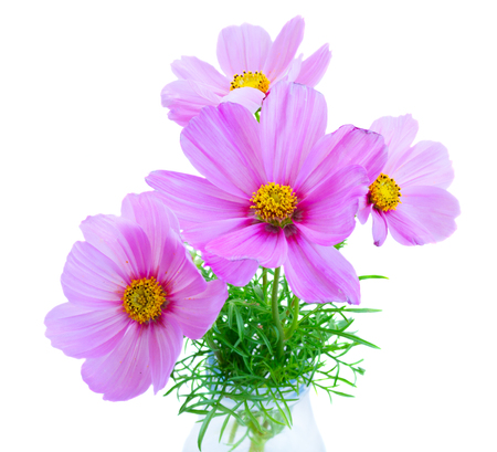 posy: Posy of Cosmos light pink flowers isolated on white background