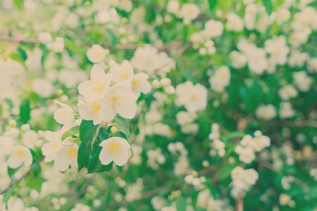 redolence: Jasmine fresh flowers and leaves border blooming tree, retro toned