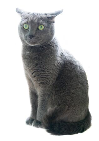 russian blue: Russian Blue cat isolated over white background Stock Photo