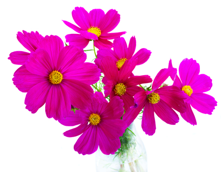 flores fucsia: Cosmos dark pink flowers posy isolated on white background Foto de archivo