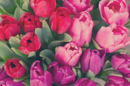red, pink and purple tulip flowers close up, retro toned Stock Photo