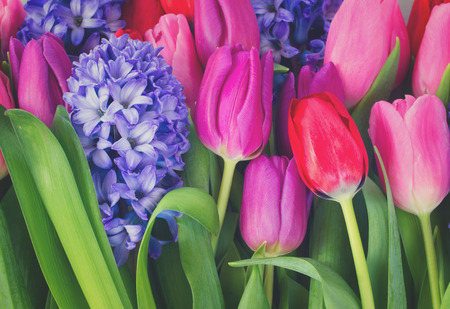 blue hyacinth and pink and red tulips close up, retro toned