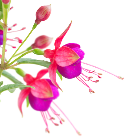 flores fucsia: Fuchsia flowers and buds close up isolated on white background