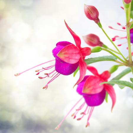 fuchsias: Fuchsia flower and bud over gray bokeh background in garden
