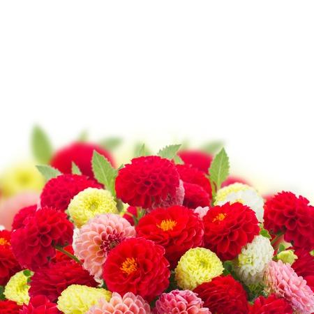dahlia: Bunch of fresh dahlia flowers border over white background