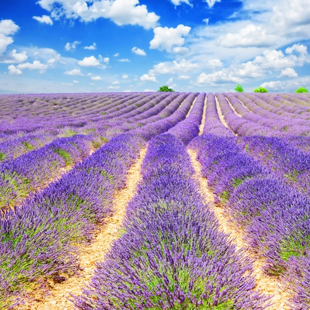 landscape with rows of lavender field under blue sky with clouds , France