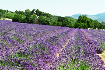 Lavender blomming flowers field with summer blue sky, France
