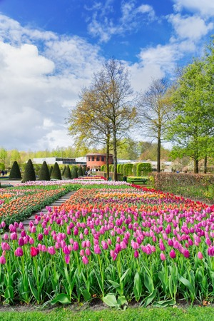 flowerbeds: Colourful Tulips Flowerbeds and Tree in Attractive Formal Garden