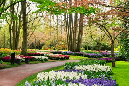 flowerbeds: Colourful Hyacinth and Tulips Flowerbeds and Pathway in an Spring Formal Garden