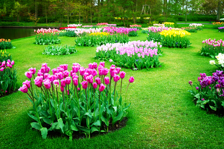 fields of flowers: Colourful Tulips Flowerbeds in Attractive Formal Garden, retro toned Stock Photo