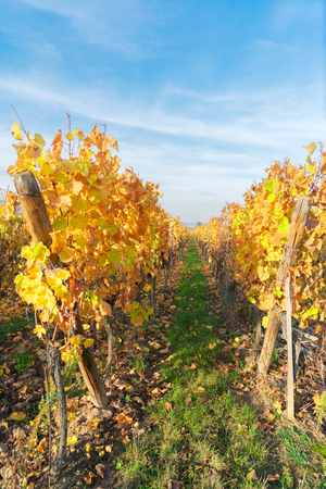 Landscape with autumn vineyards of Route des Vin, France, Alsace Stock Photo