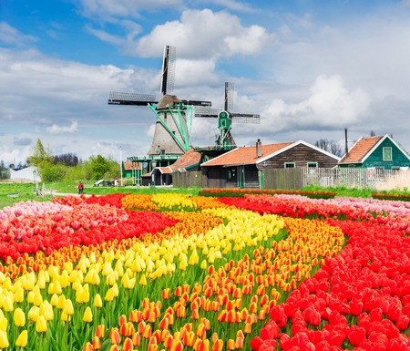 traditional Dutch rural scenery with windmill and blooming tulips, Netherlands