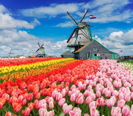 dwa tradycyjne holenderskie wiatraki z tulipanów wiersze na wiosenny dzie ?, Holandia