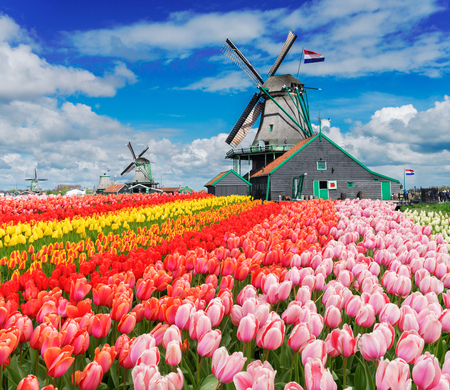 two traditional Dutch windmills with tulips rows at spring day, Netherlands Standard-Bild