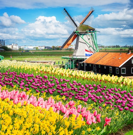 traditional Dutch windmill and fresh tulips rows, Netherlands, toned