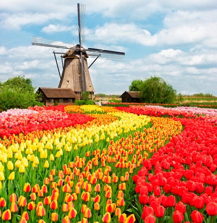 dutch typical: traditional Dutch scenery with one typical windmill with tulips, Netherlands