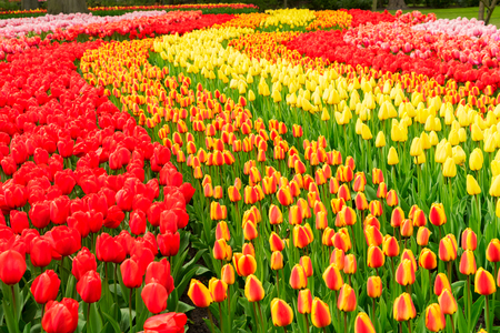 Rows of red, orange and yellow tulip flowers in garden Keukenhof, Netherlands